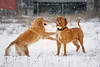 SHA_0453-2 (andreyshkvarchuk) Tags: dog doguedebordeaux mastiff winter snow