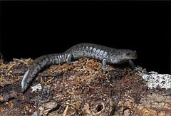Small-mouth Salamander (Ambystoma texanum) (Jake M. Scott) Tags: jakescott smallmouth salamander ambystoma texanum caudate caudata herp herps herping herpetology fieldherping herpetofauna nature natural ecology outside outdoors outdoor amphibian salamandersofalabama herpsofalabama amphibiansofalabama alabama alabamawildlife canon sigma 5d 5dmarkiv 5dmkiv animal