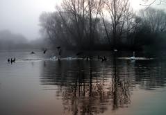 Reflections in the mist. (pstone646) Tags: lake water ducks birds reflections trees mist swans fauna ashford kent animals wildlfowl wildlife