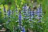 IMG_4854 (mélanie mystery) Tags: fleur bleu champs pré nature herbe