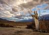 Broken Tree (dwblakey) Tags: california owensvalley landscape desert easternsierra tree sky bigpine inyocounty evening outdoors clouds unitedstates us uhlmeyerspring