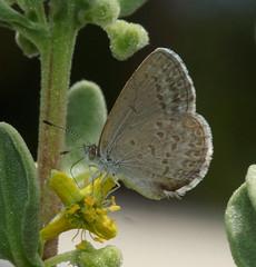 Tiny Butterfly feeding. (ron_n_beths pics) Tags: westernaustralia perthbushlands lycaenidae zizina