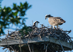 Nesting Ospreys (ap0013) Tags: osprey ospreys nest nesting bird ding darling wildlife refuge sanibel island florida fla fl sanibelisland sanibelflorida nestingosprey dingdarling nwr wildliferefuge animal nature birding