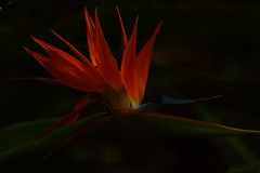 like flames on a fire (ranchodon) Tags: flower canon colorful canont1i garden nature birdofparadise