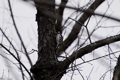 _DSC2488 (1)0001 (SHernandez836) Tags: bird nature january colors branch branches tree trees downy woodpecker female
