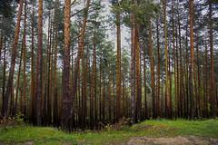 arboleda (por agustinruizmorilla) Tags: naturaleza arboleda tres agustinruizmorilla woods tree trunk forest autumn lush foliage park area birch deciduous willow scenery lagunanegra agustin ruiz morilla