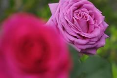Rose 'Chartreuse de Parme' raised in France (naruo0720) Tags: rose frenchrose chartreusedeparme frenchrosescollection バラ フランスのバラ シャトルーズパルム フランスのバラコレクション ボケ マクロ 前ボケ bokeh macro nikonscamera sigmalenses sigma150mmf28