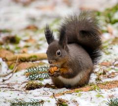 Squirrel eating a nut (Maryna K.) Tags: animal squirrel eichhörnchen cute eating animalplanet wildlife