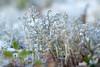 Mossa (evisdotter) Tags: mossa moss macro bokeh sooc winter nature snow
