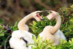 Space Aliens (PNWheat) Tags: anhinga chicks nest waterfowel
