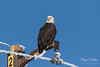 Bald Eagle watches the passing cars (TonysTakes) Tags: eagle baldeagle raptor bird firestone weldcounty wildlife coloradowildlife