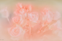 Abrianna (el-liza) Tags: nature plant flowers roses romantic dreamy macro closeup