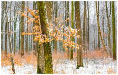 Mélange de saisons (Pascale_seg) Tags: paysage landscape forest forêt bois sousbois automne hiver neige snow orange blanc white moselle lorraine france tree