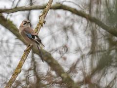 Geai des chênes (Garrulus glandarius)-3 (lolo_31) Tags: aves birds corvidae corvidés eurasianjay garrulusglandarius geaideschênes oiseaux passériformes