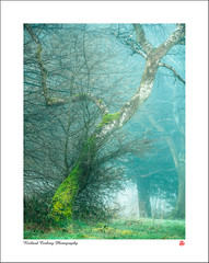 Molecomb Peak (Chalky666) Tags: tree trees wood woodland silverbirch fog mist southdowns westsussex painterly landscape art