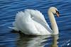 Attention je suis fâché ! (jean-daniel david) Tags: cygne oiseau oiseaudeau nature lac lacdeneuchâtel yverdonlesbains bleu blanc closeup reflet