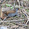 Water Rail DSC_3084 (wildlifelynn) Tags: waterrail rallusaquaticus attenborough nottinghamshire bird rail fairlycommon widespread urban rural coastallagoonsmarshes inland wetlands slowmovingwater stillwater reedbeds phragmites tallvegetation wellvegetatedponds ditches dykes residentpopulation wintervisitor overwinters sexessimilar richbrownbackwings blackstreaksbackwings slatebluegreyfacebreast barredflanks bwbarring whiteundertail shortcockedtail oftenflickstail longredbeak slightlydowncurvedbeak redeyes fleshbrownlegstoes longtoes laterallycompactbody highsteppinggait runs swims weakflight omnivorous varieddiet aquaticinsects leeches worms smallfish spiders smallmammals carrion seeds shoots monogamous 12broodsannually shysecretiveskulking loudsquealingcalls winter oldgravelpits solitary active lookingforfood drainagechannel litter