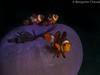25022018-_1240390 (chevalbenjamin) Tags: philippines visayas bohol scubadiving dive underwater underwaterphotography photosousmarine clownfish seaocean proximacro 60mmmacroolympus