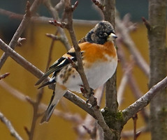 PEPPOLA B DSC06934 (massimocenedese) Tags: peppola birds uccelli natura sony a6500