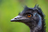 Emu (Mathias Appel) Tags: emu dromaius novaehollandiae australia mate bird vogel tier animal nature natur bokeh augen eyes large gros black blue orange schwarz blau portrait zoo tierpark nikon deutschland germany d7100 émeu daustralie emuo 100400 sigma