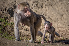 Mother and Daughter (helenehoffman) Tags: mother africarocks sandiegozoo conservationstatusleastconcern monkey primate mammal baby ethiopianhighlands motherandchild papiohamadryas baboon oldworldmonkey hamadryasbaboon animal zoosofnorthamerica