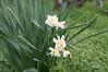 Ψίνθος (Psinthos.Net) Tags: ψίνθοσ psinthos nature countryside φύση εξοχή wildflowers wildflower flowers flower λουλούδια λουλούδι άνθη blossoms whiteblossoms λευκάάνθη άσπραάνθη κίτριναάνθη yellowblossoms narcissus νάρκισσοσ νάρκισσοσοκυπελλοφόροσ τσαμπάκι μυρσίτζια μυρσίτζι greens χόρτα οξαλίδεσ sorrels ξυνιέσ ξυνάκια ξινάκια fasouli φασούλι fasuli γύρη pollen απόγευμα απόγευμαχειμώνα afternoon january ιανουάριοσ γενάρησ χειμωνιάτικοαπόγευμα χειμώνασ winter