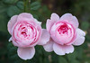 A Pair of Roses (s.d.sea) Tags: rose roses flower floral flowers pink petals garden pnw pacificnorthwest washingtonstate washington issaquah klahanie pentax k5iis macro spring