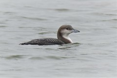 Black-throated Diver (Gavia arctica) In Winter plumage Dungeness RSPB (GrahamParryWildlife) Tags: 7d sport 150600 sigma yellow grahamparrywildlife small uk kent rspb dungeness animal outdoor viewing photo flickr add new sunlight depth field plumage bird close up song mk2 canon pale diver artic loon graham parry gavia arctica