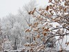 Snow Day Today (starmist1) Tags: snowstorm trees winter january seeds seedpods branches barebranches limbs stark snowy