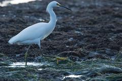 IMG_2924 (armadil) Tags: mavericks beach beaches californiabeaches bird birds egret snowyegret