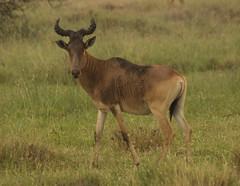 Dirty Hartebeest (liam.ragan) Tags: animal wildlife nature creature alive life hartebeest nairobi nairobinationalpark savanna kenya africa