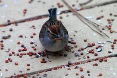 Who Eats the Millet? (Reid2008) Tags: millet redmillet birdseed bird sparrow seed seeds