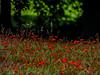 Strawberry Fields Forever (Steve Taylor (Photography)) Tags: strawberryfieldsforever art digital park black green red uk gb england greatbritain unitedkingdom margate dandelion grass trees hartsdownpark silhouette summer