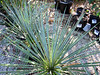 Yucca filamentosa (Adam's needle) 5 (James St. John) Tags: yucca filamentosa adams needle angiosperm angiosperms plant plants
