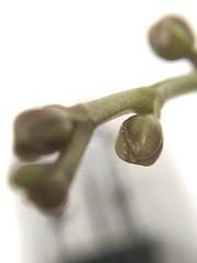 Macro plants 🌷Orchid cocoon (pictumad) Tags: orchid olloclip macro orquídea capullo