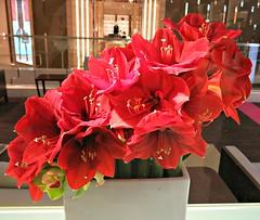 Tuesday Colours - Amaryllis (Pushapoze (nmp)) Tags: flower red fleur rouge amarylis
