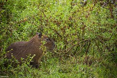 Filhote de Capivara (izaletetavares) Tags: filhote filhotedecapivara chuva rain animals animais animal ambiente amazing animalplanet árvore fauna flora free foto flickr fofo fotografiadenatureza folhas wildlife wild wildlifephotography world wildife wildlifephoto wildnature verde vida vidaselvagem vegetação brasil nature natureza naturephotography naturephotos new nice nationalgeographic national natural nanatureza meioambiente mato mamífero livre life liberdade lagoa izaletetavares photo photography preservação photos preserve porangatu green goiás galhos