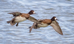 Lesser Scaup Hens (tresed47) Tags: 2018 201801jan 20180131eastmarylandbirds birds cambridge canon7d content ducks folder lesserscaup maryland pennsylvania peterscamera petersphotos places scaup season takenby us winter ngc