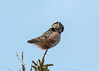 Northern Hawk-Owl (Bill Clark_photos) Tags: owl minnesota duluth sax zim boreal