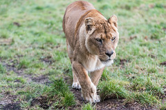 2-1 (howesyourphoto) Tags: lion lioness nikon nikond750 whipsnade 70200mm bokeh