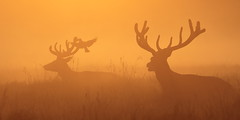 There'll be no flies on you (Hammerchewer) Tags: reddeer deer stags wildlife outdoor