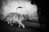 21673 - Amy (Diego Rosato) Tags: gatto cat animal animale pet amy bianconero blackwhite giardino garden nikon d700 70200mm sigma rawtherapee