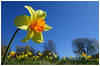 ☺ Spring Into Summer! (Springtime Blues) (crush777roxx) Tags: crush777roxx crush 20170504 2017 may 4th compact camera sony hx90v sweden stockholm scandinavia nordic landscape nature spring springtime daffodil narcissus birma flower field stem yellow orange blue sky green grass trees blomma påsklilja natur landskap 花 喇叭水仙 自然 景观 水仙 風景 fleur jonquille paysage 31821198 share kindness sharethekindness narcissusbirma flowerfield bluesky fieldofflowers yellowflower prettyflowers daffodilfield blueskies stockholmsweden compactcamera sonyhx90v