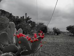 prickly pears (panoskaralis) Tags: pricklypear cactus blackwhite blackandwhite nature garden red lesbos lesvos lesvosisland mytilene charamida aegeansea aegean greece greek hellas hellenic outdoor landscape