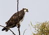 Osprey (gilamonster8) Tags: osprey bird animal hawk sky tree branch wood perch quality arizona wing white waterbird stick explore explored eos ef400mm56l eyes desert canon common raptor falcon flickrelite flight fly view tucson tail talons twig green gray beak ngc