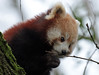 red panda Blijdorp BB2A8904 (j.a.kok) Tags: panda redpanda rodepanda kleinepanda blijdorp animal mammal asia azie china zoogdier dier
