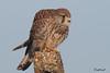 KESTREL  //  FALCO  TINNUNCULUS  (65-80Ccm) (tom webzell) Tags: naturethroughthelens