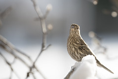 Common Red Poll (The Barrel Steward) Tags: bird snow ice cold january freezing halo soft bokeh sunrise goldenhour redpoll nikon d810 f28 gleaming glimmer kentucky nelsoncounty coxscreek