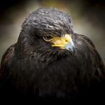 Harris's Hawk (Parabuteo unicinctus) thumbnail