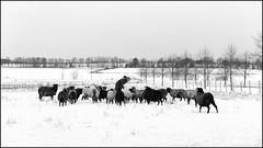 Norwegian Wool Gang in Winter (Eline Lyng) Tags: nature winter sheep gammelnorskspælsau spæsau herd animal farm farmanimal monochrome monochrom bw blackandwhite leica sl leicasl 50mm 095 noctilux095 bokeh dof norway